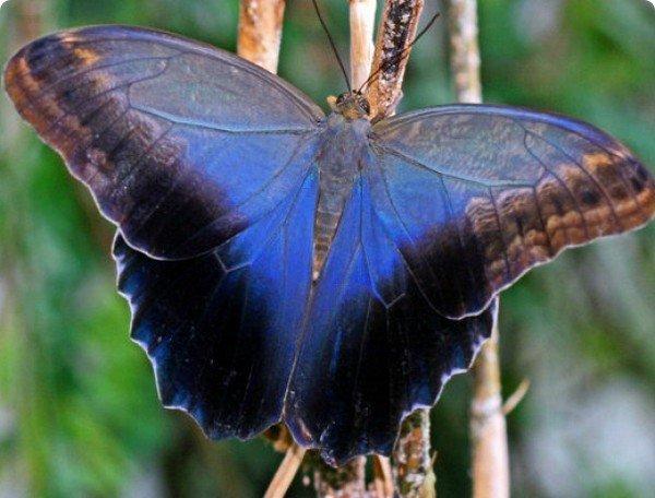 Крупная бабочка с переливом на крыльях