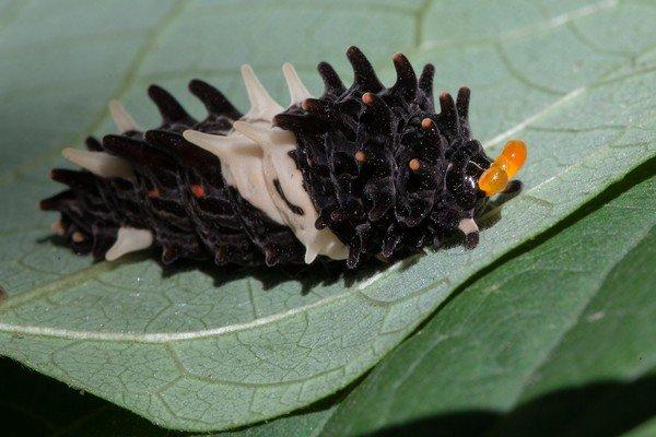 Гусеница тоже имеет уникальный вид