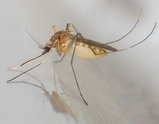 Подвальный комар пискун