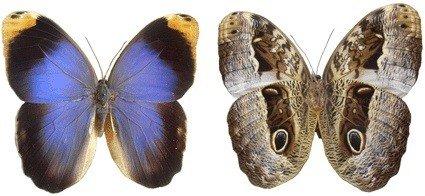 Вид бабочки совы Калиго из Бразилии