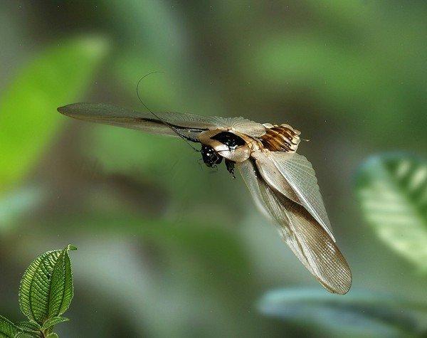 Тропический летающий таракан