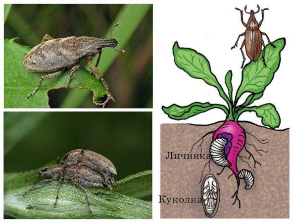 Вся жизнь этого жука связана со свеклой