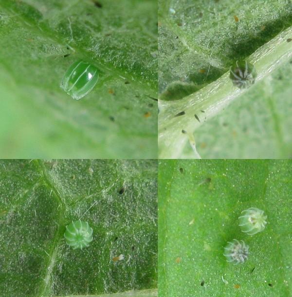 Яйца бабочки имеют интересную форму
