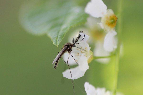 Комар пьет нектар