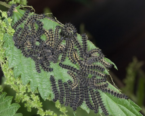 Скопление гусениц