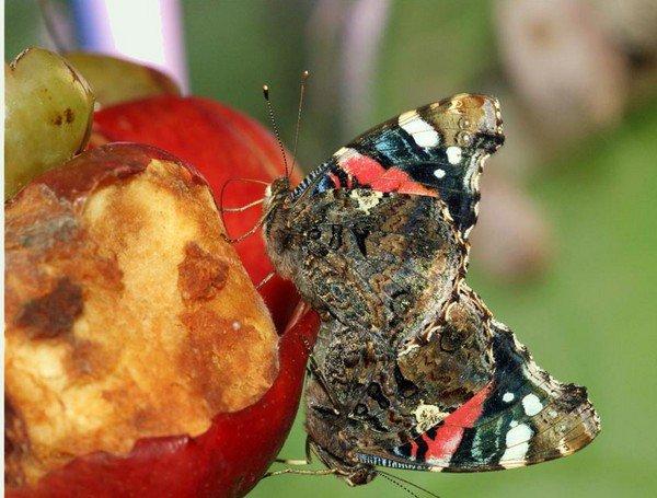 Кормление бабочек