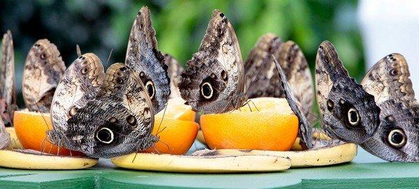 Бабочки едят фрукты
