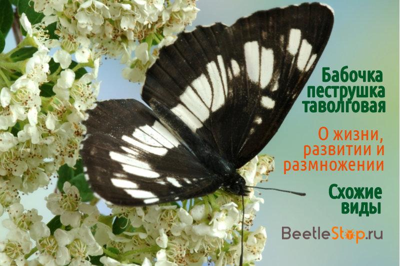 Бабочка пеструшка таволговая