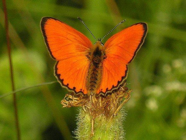 Бабочка червонец огненный