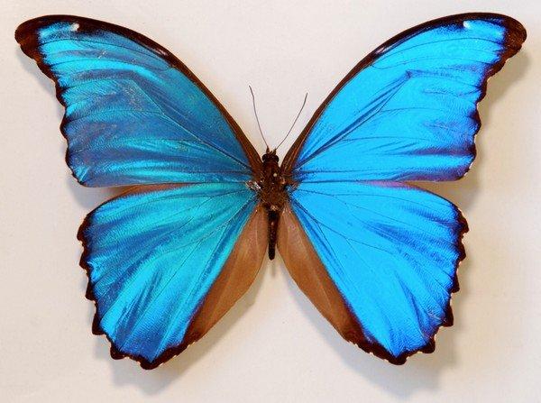 Бабочка Morphodidius