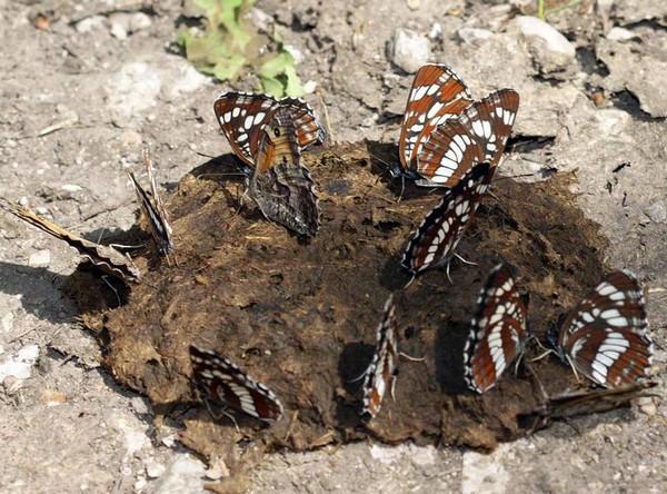 Бабочки питаются