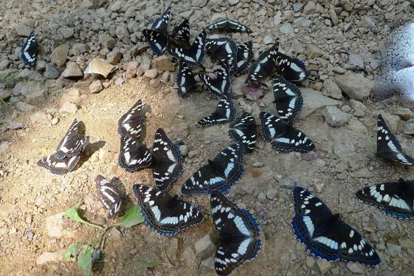 Бабочки ищут пищу