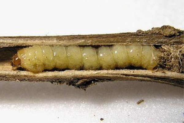 Вред растениям наносят личинки жуков