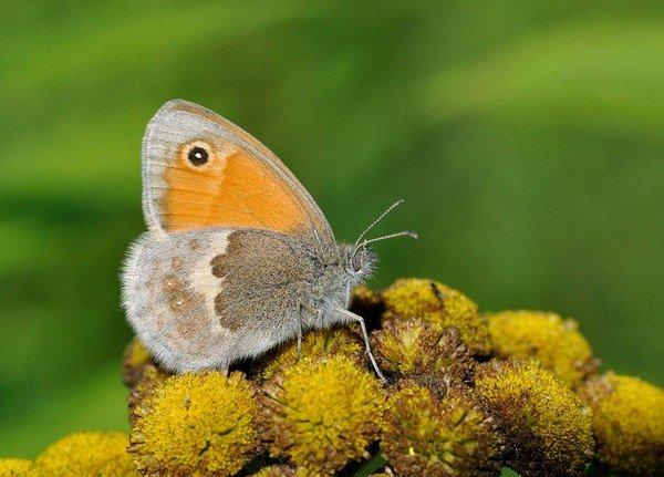 Бабочка Coenonymphasymphita