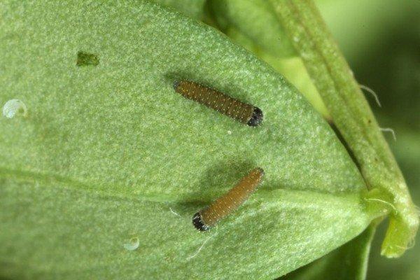 Личинки желтушки