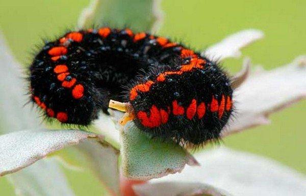 Черная гусеница