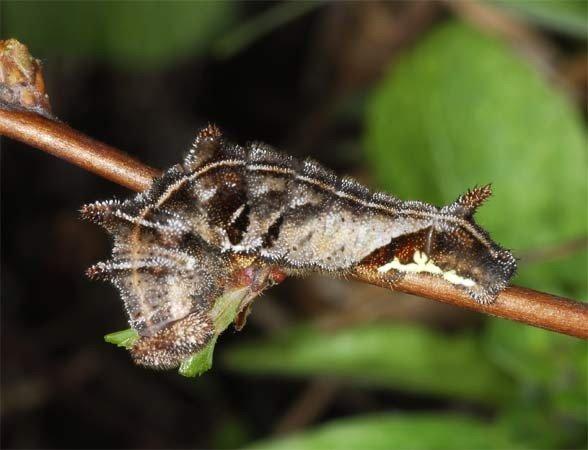 Гусеница Лентокрыльницы