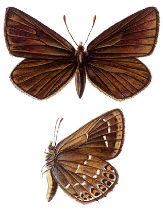 Голубянка Neolycaenadavidi