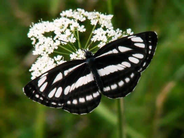 Пеструшка темнокрылая