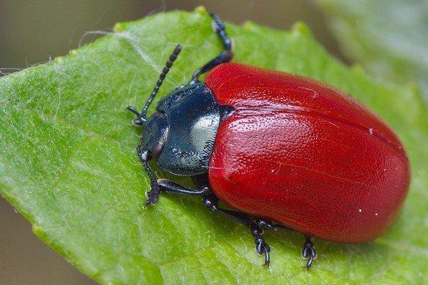 Симпатичный, но вредоносный жук