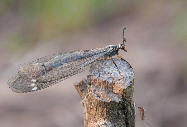 Myrmeleonformicarius
