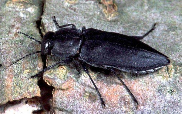 Melanophilaacuminate