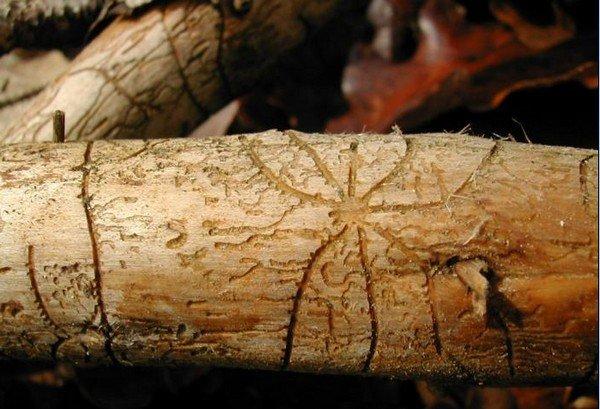 Рисунок на коре, оставленный вредителями