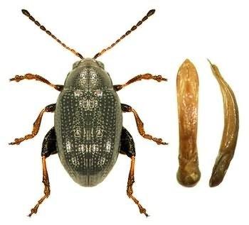 Chaetocnemahortensis