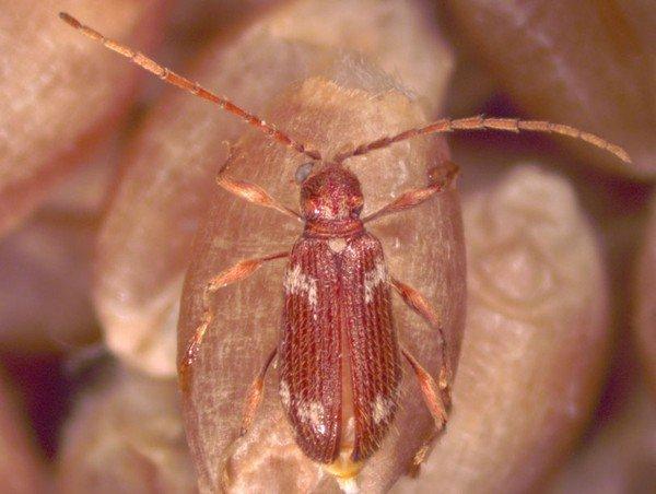 Мелкий вредоносный жук
