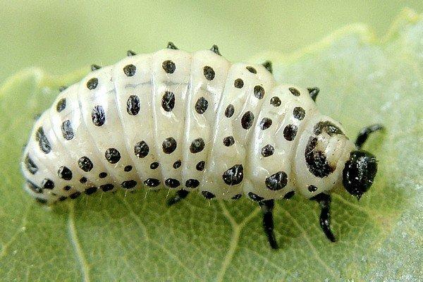 Яркая личинка жука