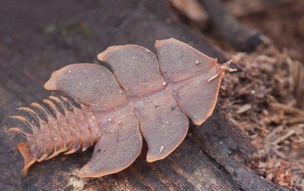 Самка жука-трилобита