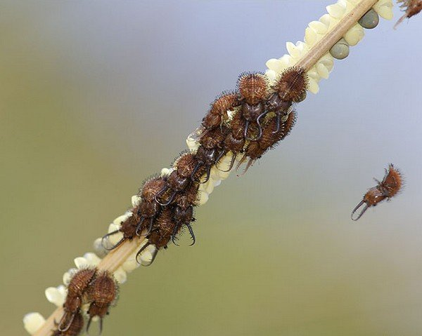 Скопление личинок