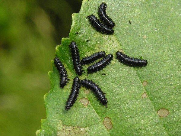 Личинки питаются листвой