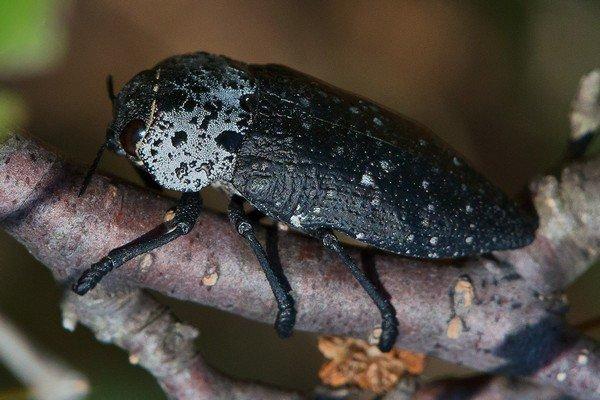 Эти жуки наносят урон деревьям