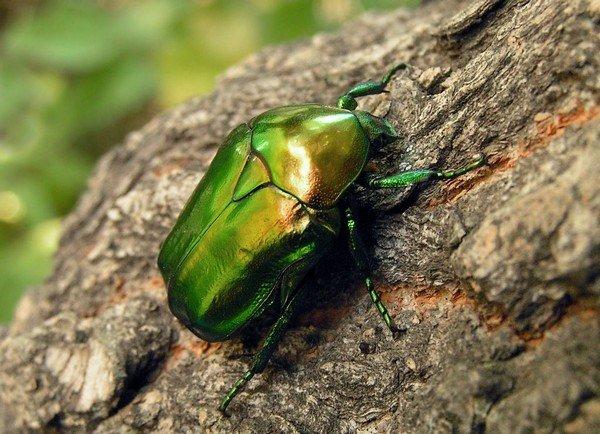 Блестящий жук