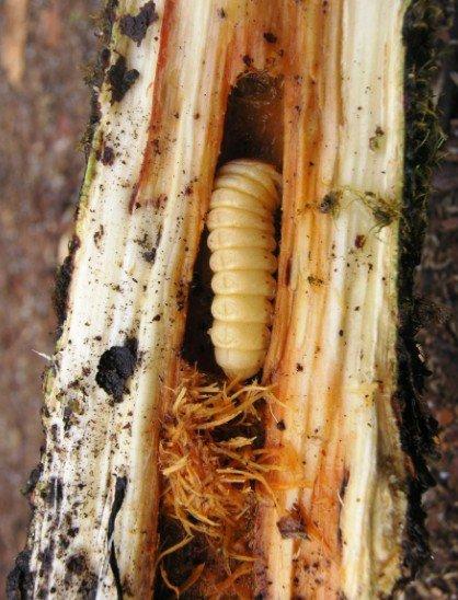 Ходы, которые оставляют личинки