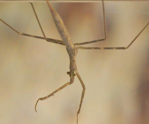Личинка палочника