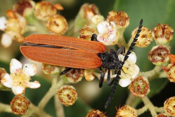 Самец имеет привычный для жуков вид