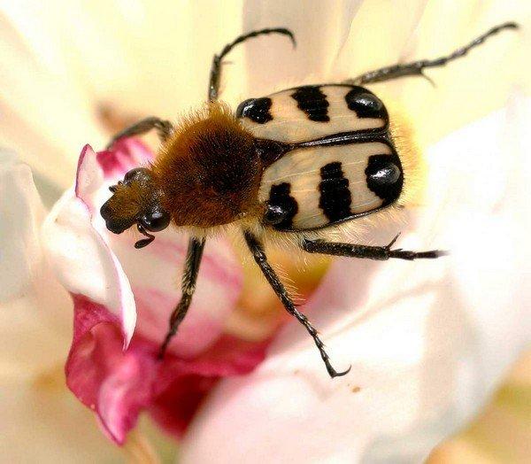 Trichiusfasciatus