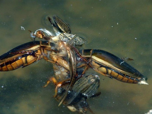 Питание водяных жуков