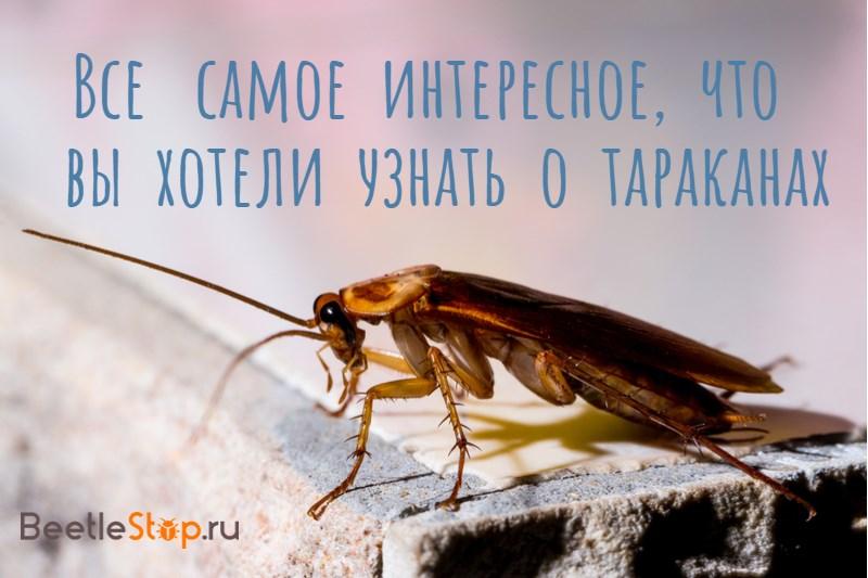 насекомое таракан