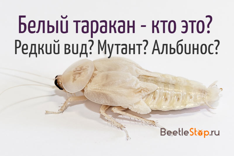 Таракан белого цвета