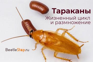 Как рождаются тараканы домашние