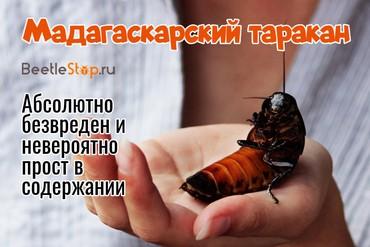 Мадагаскарские тараканы: фото, описание, содержание и разведение