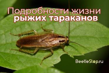 Рыжий таракан прусак и как избавиться от него дома