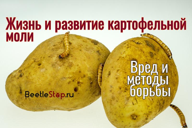 Личинка картофельной моли