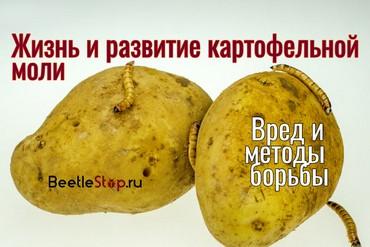 Как выглядит картофельная моль