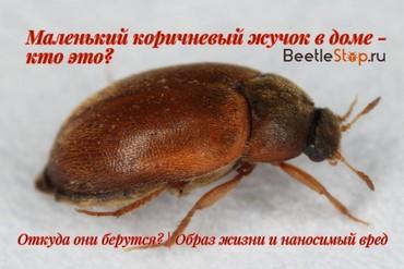 Летающий маленький коричневый жучок в квартире на подоконнике: фото, как избавиться?