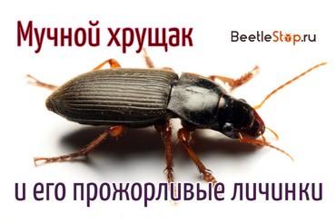 Мучной жук хрущак в квартире. Как избавиться