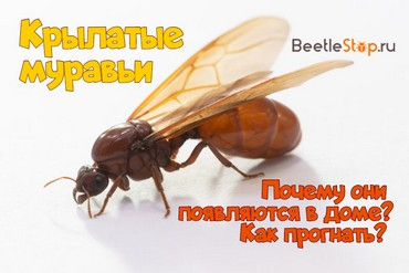 Большие муравьи с крыльями в доме